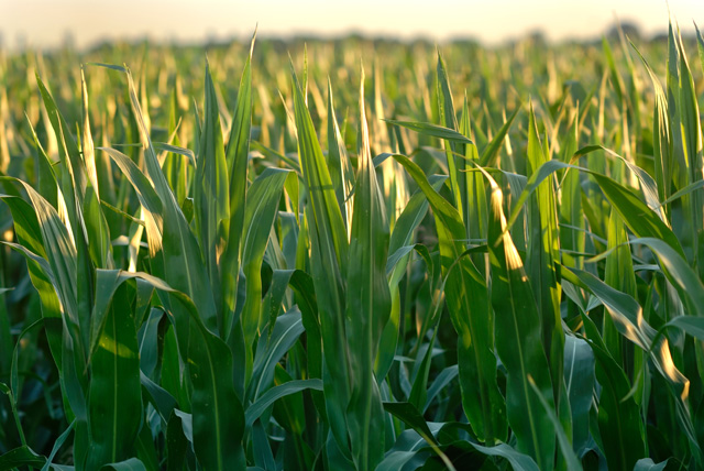 The raw material corn is soaring, the lysine and threonine markets jump