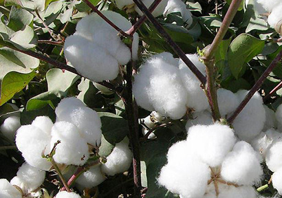 Planned Volumes of State Cotton Auction on Jul 11