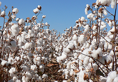 Planned Volumes of State Cotton Auction on Jul 3