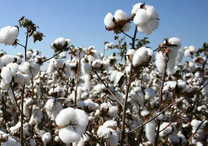 ICE Cotton Futures Market Slips