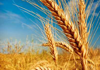 China imported 960,000 tons of wheat and 99,000 tons of corn in Q1