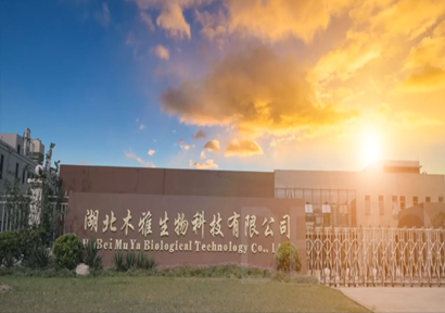 Hubei Muya Biotechnology: An enterprise specializing in ginkgo biloba