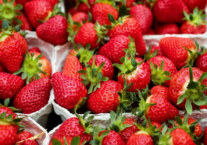 Strawberry Price Bottom New Planting Way and New Varieties with Good Benefits