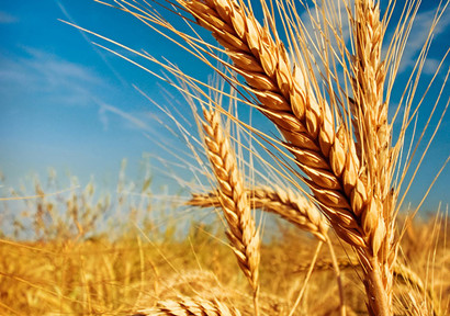 Anhui-Order-wheat-has-a-good-harvest