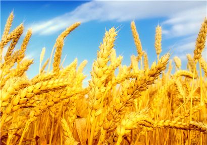 The purchase of summer grain in Xinjiang is about to start