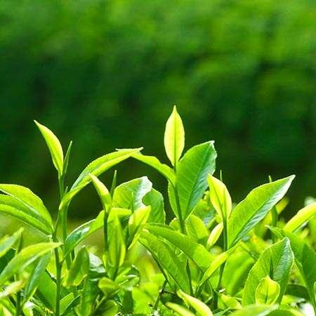 green-tea-camellia-sinensis