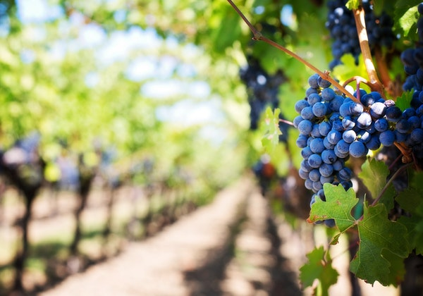 Grape seed proanthocyanidin extract can prevent CsA nephropathy