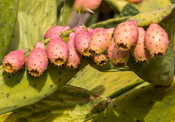 Study: Prickly Pear Cactus extract helps recovery after exercise