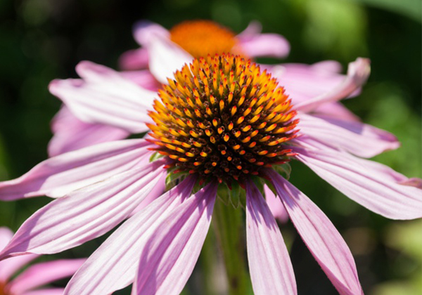 Research on the mechanism of synthesis of chicory acid, the active ingredient of Echinacea purpurea image